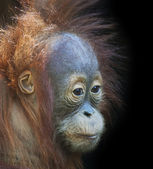 Side face portrait of a young orangutan male. Side look of a little great ape. — Stock Photo