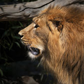 Side face portrait of a sunlit Asian lion. The head and shaggy mane of the King of beasts. — Stock Photo
