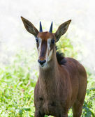 A young sable antilope female on sunlit backgroun — Stock Photo