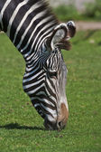 An African thankful zebra kisses the mother earth. — Stock Photo