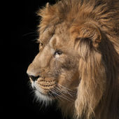 Side face portrait of an sunlit Asian lion on black background. Wild beauty of the biggest cat. — Stock Photo