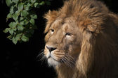 Side face portrait of an Asian lion with bunch of greenery on black background. — Stock Photo
