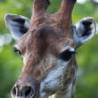 Stock Photo: Head of giraffe female on green blur background. Face portrait of highest animal of world. Wild beauty of exotic animal from Africsavanna.