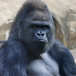 Stock Photo: Bust portrait of gorillmale, severe silverback, on rock background. Menacing side look of great ape, most dangerous and biggest monkey of world. chief of gorillfamily
