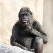 A young gorilla male is picking his teeth. Milk fangs of the little great ape are already very dangerous. The young monkey is going to be the most mighty and biggest primate of the world. — Stock Photo