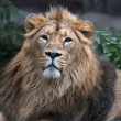 Calm look of an Asian lion. The King of beasts, biggest cat of the world, looking into the camera. The most dangerous and mighty predator of the world. Wild beauty of the nature. — Stock Photo