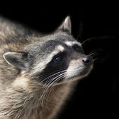 The head of a concentrated raccoon. Begging look of a washing bear. Wild beauty of a cute beast. Animal side face portrait. — Stock Photo