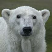 Het hoofd van een ijsbeer vrouw. Portret van het gezicht van een mooie beest op groene achtergrond wazig. de meest gevaarlijke dier van het noordpoolgebied. wilde schoonheid van ernstige raptor. — Stockfoto