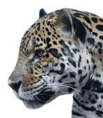 The head of American leopard, isolated on white background. Wild beauty of a cougar, excellent big spotted cat. Side face portrait of a dangerous beast and mighty predator. — Stock Photo