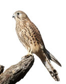 The full length portrait of a kestrel, Falco tinnunculus. Side face view of a beautiful bird, isolated on white background. Wild beauty of the feathered world. — Stock Photo