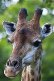 The head of a giraffe female on green blur background. Face portrait of the highest animal of the world. Wild beauty of the exotic animal from African savanna. — Stock Photo