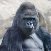 Bust portrait of a gorilla male, severe silverback, on rock background. Menacing expression of the great ape, the most dangerous and biggest monkey of the world. The chief of a gorilla family. — Stock Photo