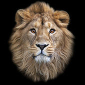 The face of an Asian lion, isolated on black background. The King of beasts, biggest cat of the world, looking straight into the camera. The most dangerous and mighty predator of the world. — Stock Photo