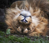 The face of an Asian lion, lying on his back. Square image. The King of beasts, biggest cat of the world, looking straight into the camera. The most dangerous and mighty predator of the world. — Stock Photo