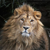 An Asian lion with shaggy mane in shadowy forest. The King of beasts, biggest cat of the world, looking straight into the camera. The most dangerous and mighty predator of the world. Square image. — Stock Photo