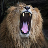 Open jaws of an Asian lion, resting in forest shadow. The King of beasts, biggest cat of the world. The most dangerous and mighty predator of the world shows his huge fangs. Square image — Foto de Stock