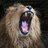 Huge fangs of an Asian lion, resting in forest shadow. The King of beasts, biggest cat of the world. The most dangerous and mighty predator of the world with open chaps. Square image. — Foto Stock