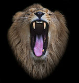 The head of a yawning Asian lion, isolated on black background. The King of beasts, biggest cat of the world. The most dangerous and mighty predator of the world shows his huge fangs. — Stockfoto