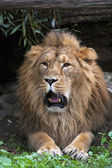 A drowsy Asian lion with open chaps, resting in forest shadow. The King of beasts, biggest cat of the world. The most dangerous and mighty predator of the world shows his huge fangs. — Stock Photo