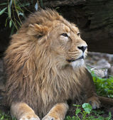 Portrait of a calm Asian lion, resting in shady forest. The King of beasts, biggest cat of the world. The most dangerous and mighty predator of the world. Square image. — Foto de Stock