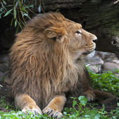 Side face portrait of an Asian lion, resting in forest shadow. The King of beasts, biggest cat of the world. The most dangerous and mighty predator of the world. Square image. — Foto de Stock