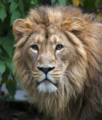 Calm stare of an Asian lion in the forest. King of beasts, biggest cat of the world, looking straight into the camera. The most dangerous and mighty predator of the world. Wild beauty of the nature. — 图库照片