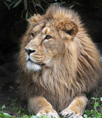 Side look of an Asian lion, resting in forest shadow. The King of beasts, biggest cat of the world. The most dangerous and mighty predator of the world. Wild beauty of the nature. — Foto Stock