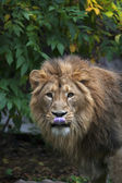 An Asian lion with pink tongue on green leaves background. The King of beasts, biggest cat of the world, looking straight into the camera. The most dangerous and mighty predator of the world. — Стоковое фото