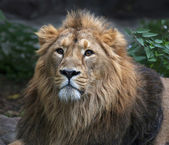 Gaze of an Asian lion, lying on green grass background. The King of beasts, biggest cat of the world. The most dangerous and mighty predator of the world. Wild beauty of the nature. — 图库照片