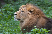 Side face portrait of an Asian lion, lying among green grass. The King of beasts, biggest cat of the world. The most dangerous and mighty predator of the world. Wild beauty of the nature. — Foto de Stock