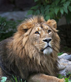 Look up of an Asian lion, lying among rocks and greenary. The King of beasts, biggest cat of the world. The most dangerous and mighty predator of the world. Wild beauty of the nature. — Foto de Stock