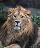 Calm look of an Asian lion. The King of beasts, biggest cat of the world, looking into the camera. The most dangerous and mighty predator of the world. Wild beauty of the nature. — Foto de Stock