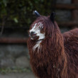 Stock Photo: Funny head, neck and back of alpaca. White face and red dreads of fluffy latinos animal, Lampacos. Wooly pet in hay with humlike face with mustache and beard.