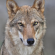The head and neck of a young, two year old, european wolf female. Face portrait of a forest dangerous beast, Canis lupus lupus, on blur background. Beauty of the wildlife. — Stock Photo