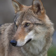 Stock Photo: Side look of young, two year old, europewolf female. Side face portrait of forest dangerous beast, Canis lupus lupus, on blur background. Beauty of wildlife.