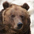 Stare of a brown bear female on blur gray background. Macro face portrait of the most mighty beast of the world. Eye to eye with severe and very dangerous predator. — Foto de Stock