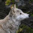 Look up of a polar wolf male on autumn forest background. Eye to eye with the very dangerous beast of the cold North. Severe beauty of the wildlife. — Stock Photo