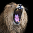 Huge fangs of an Asian lion, isolated on black background. The King of beasts, biggest cat of the world. The most dangerous and mighty predator of the world with open chaps. Square image. — Stock Photo