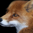 Stock Photo: Side face portrait of red fox male, isolated on black background. head beautiful forest wild beast. Smart look of dodgy vulpes, skilled raptor and elegant animal.