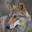 Side look of a young, two year old, european wolf female. Side face portrait of a forest dangerous beast, Canis lupus lupus, on blur background. Beauty of the wildlife. Square image. — Stock Photo