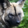 Dark look of an African wild dog. The head of the painted dog, African wolf, with menacing expression on green blur background. Wild beauty of the nature. — Stock Photo