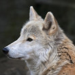 Peaceful look of a polar wolf male. Eye to eye with the very dangerous beast of the cold North. Severe beauty of the wild dog. Close up animal portrait. — Stock Photo #35551539