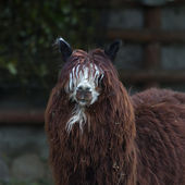 Funny head, neck and back of an alpaca. White face and red dreads of a flaffy latinos hoofed animal, Lama pacos. Wooly pet in hay with human like face with mustache and beard. — Stock Photo