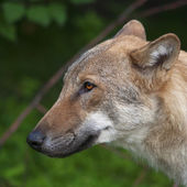 The head of a young, one year old, european wolf male. Side face portrait of a forest dangerous beast, Canis lupus lupus, on green background. Beauty of the wildlife. — Stock Photo