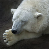 The head and a paw of a sleeping polar bear female. White fluffy beast, the most dangerous raptor of the wold. Cute and cuddly live plush teddy. Beauty of the wildlife. — Stockfoto
