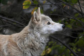 Look up of a polar wolf male on autumn forest background. Eye to eye with the very dangerous beast of the cold North. Severe beauty of the wildlife. — Stockfoto