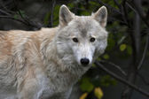 Look straight into the camera of a polar wolf male on autumn forest background. Eye to eye with the very dangerous beast of the cold North. Severe beauty of the wildlife. — Stock Photo