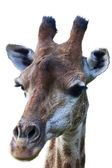 The head of a giraffe female, isolated on white baclground. Face portrait of the highest animal of the world. Wild beauty of the exotic animal from African savanna. — Stock Photo