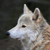 Peaceful look of a polar wolf male. Eye to eye with the very dangerous beast of the cold North. Severe beauty of the wild dog. Close up animal portrait. Square image. — Stock Photo