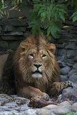 An Asian lion with a little open chaps. The King of beasts, biggest cat of the world, looking straight into the camera. The most dangerous and mighty predator of the world. Wild beauty of the nature. — 图库照片